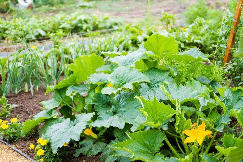 Squash plant in summer garden
