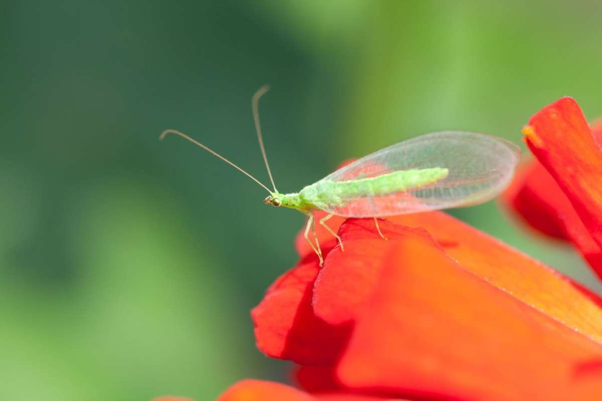 Lacewing on flower