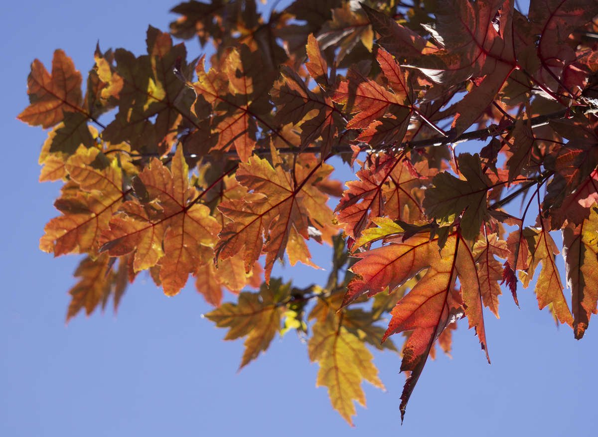Red Maple 'Autumn Blaze'