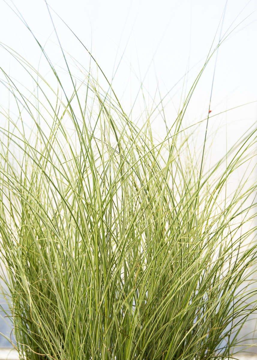 Silver Grass 'Morning Light'