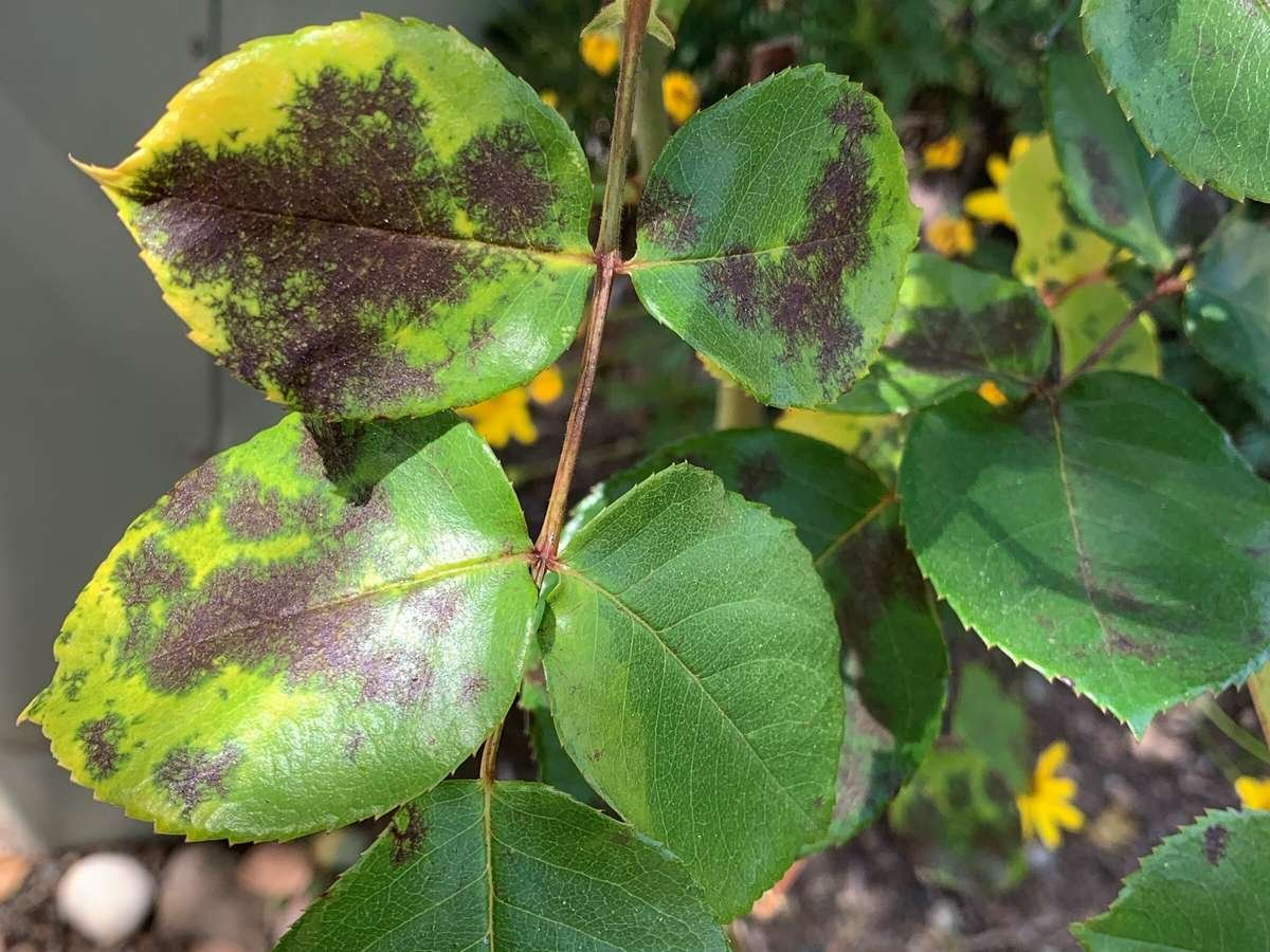 Black spot on rose bush