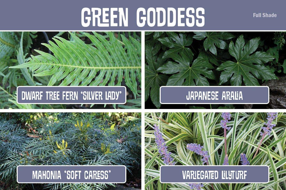 Plant Combination Dwarf Tree Fern, Japanese Aralia, Mahonia, Lilyturf