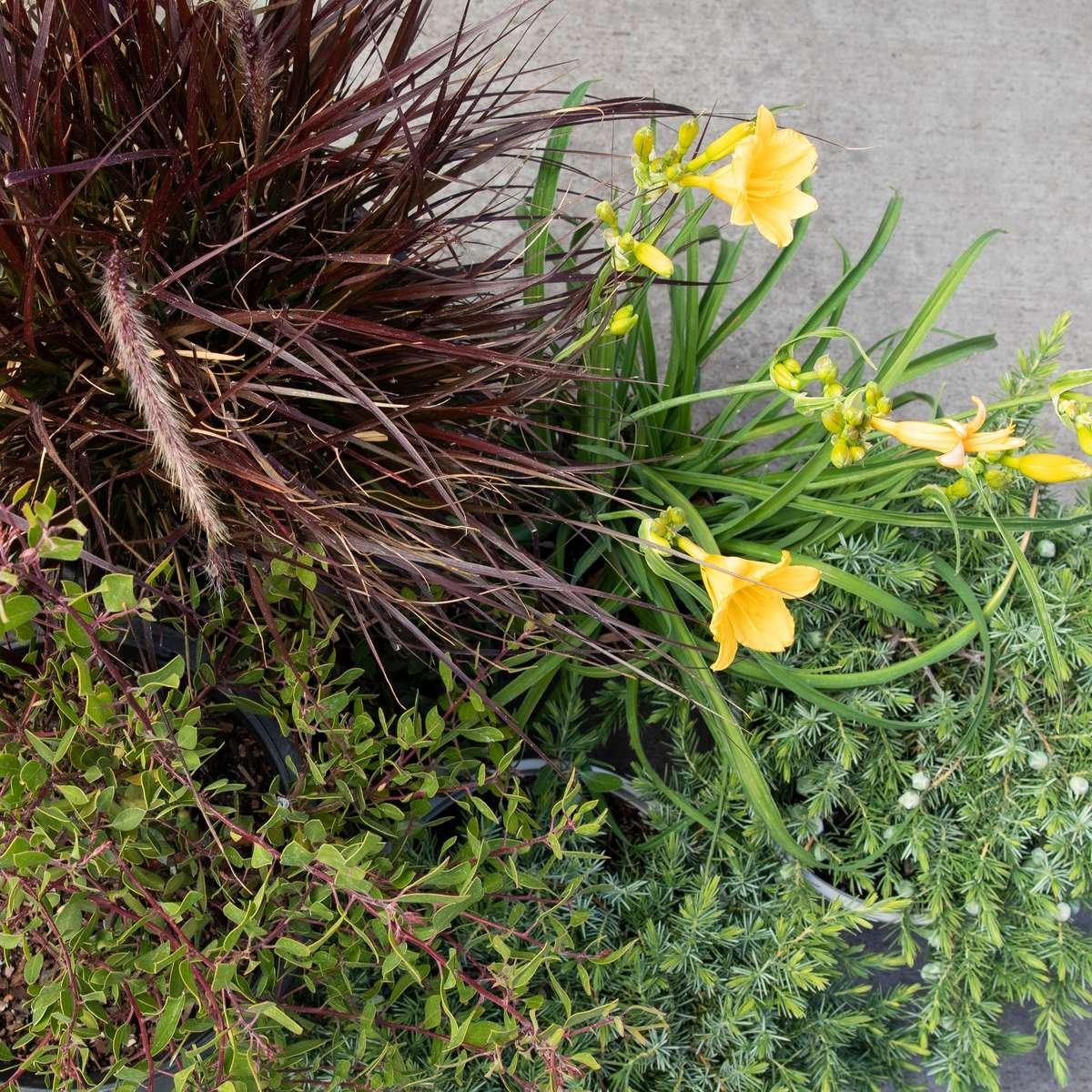 photo: Fountain Grass, Daylily, Juniper, Manzanita