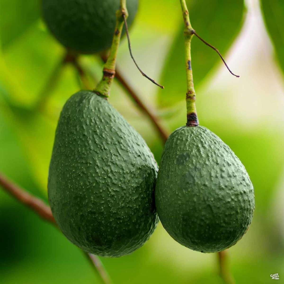 Avocado 'Little Cado'