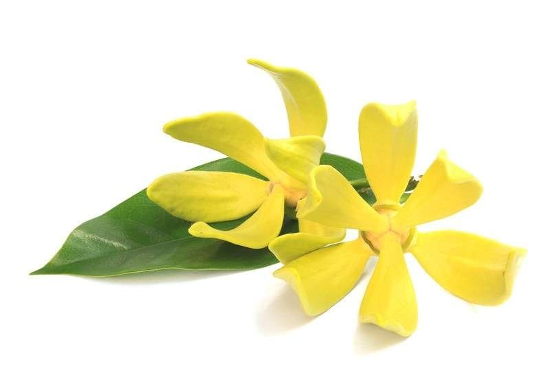 ylang-ylang oil to reduce cellulite naturally