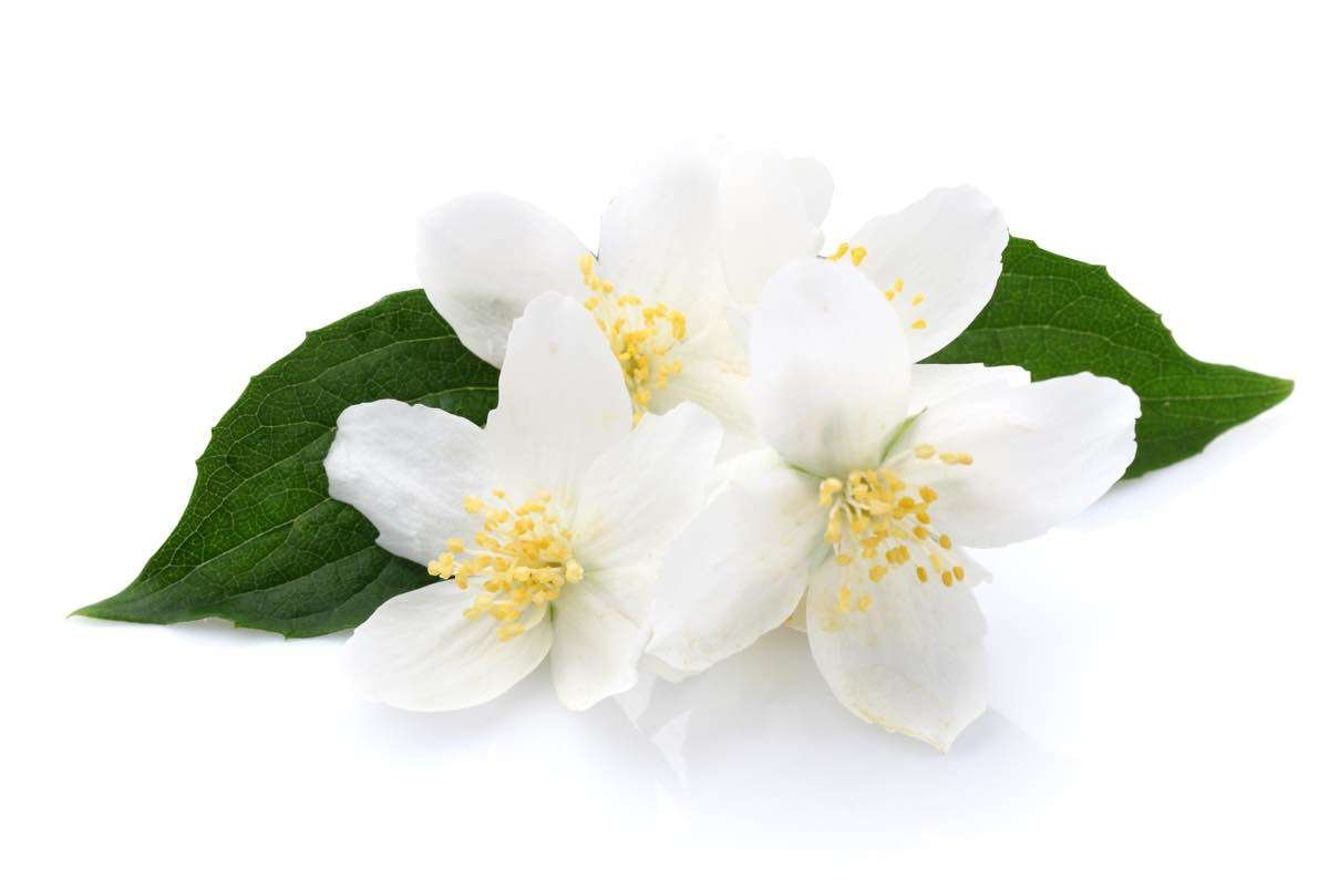Jasmin oil to reduce cellulite naturally