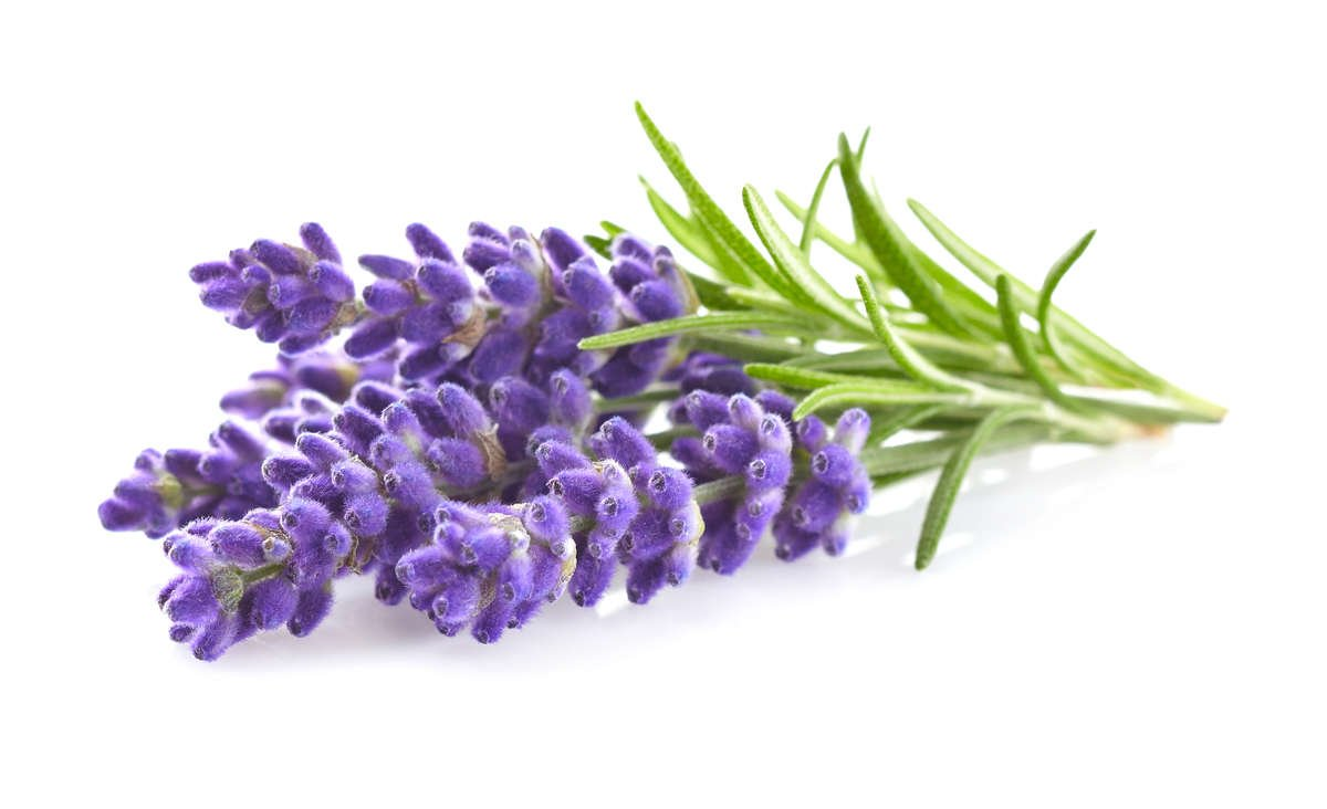 Lavender flowers and green leaves against a plain white background