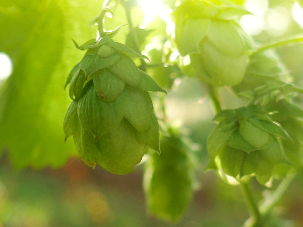 Close up of hops seed cones in illuminated in by the sun.