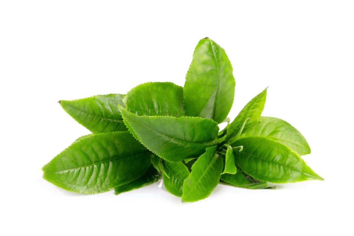 Fresh green tea leaves against a pure white background.
