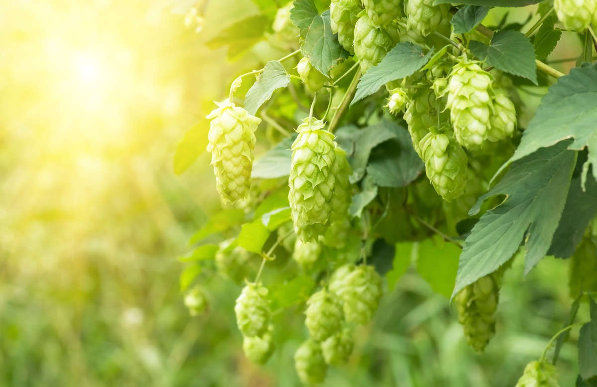 An angle photo of a row of hop bushels illuminated by the sun.