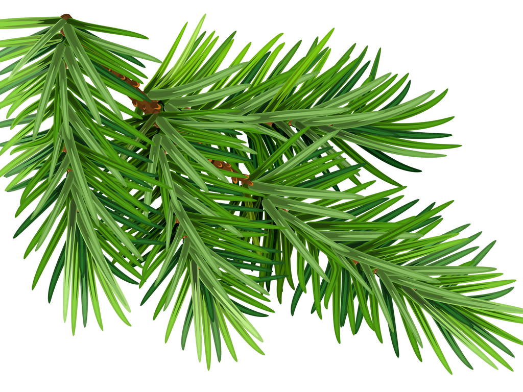 Green fluffy pine branch. Isolated on white background.