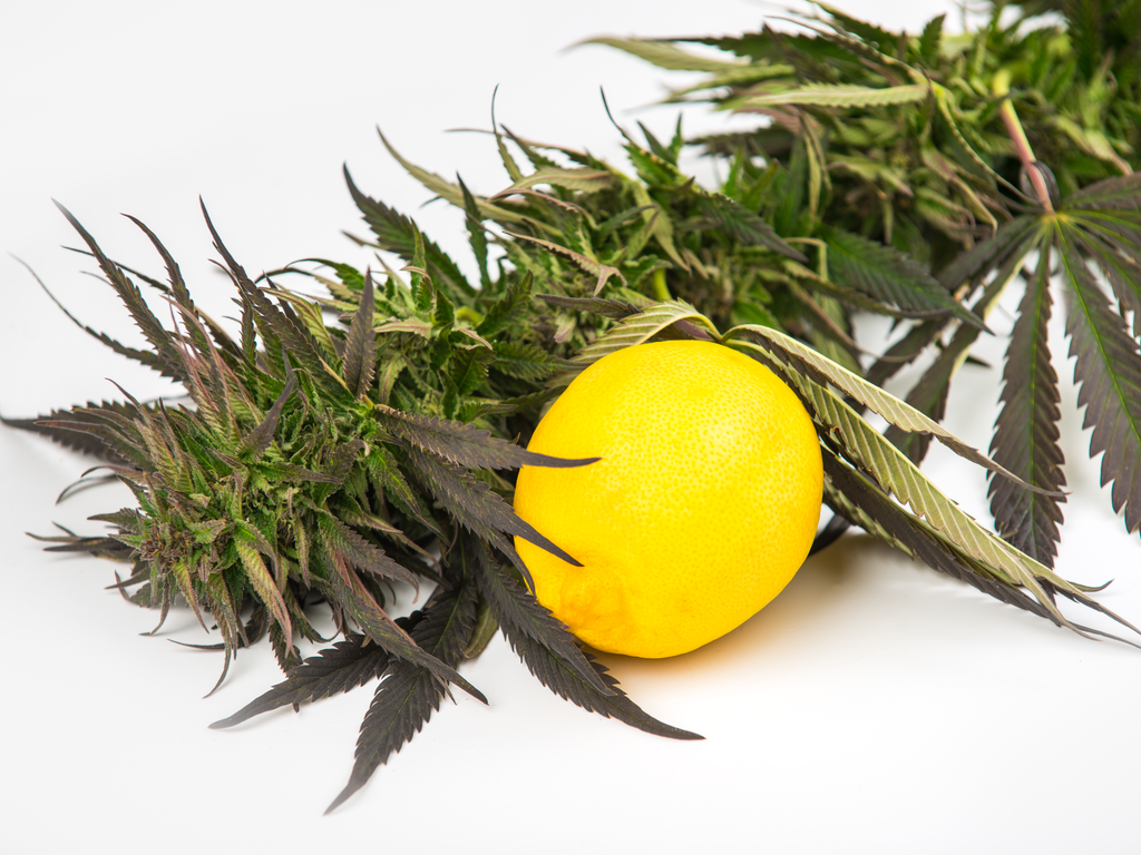 Cannabis flowers and lemon show the source of aromatic terpenes isolated on a plain white background.