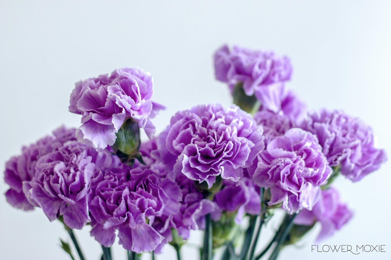 purple carnation, lavender carnation, flower moxie, flowermoxie, diy wedding flowers