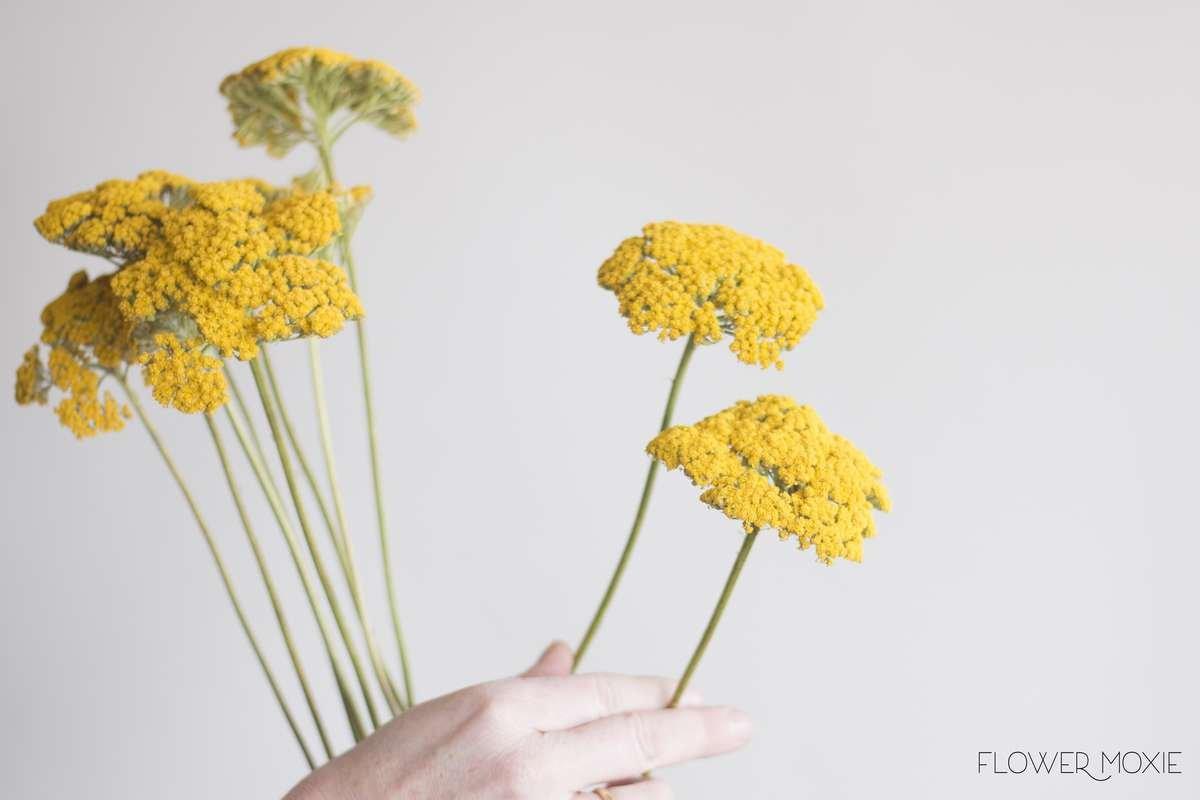 Yarrow — Flower Moxie