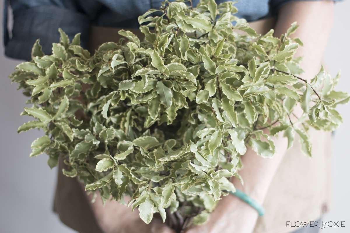 silver queen pitt, silver queen pittosporum, Italian Variegated Pittosporum, bouquet greenery, flower moxie