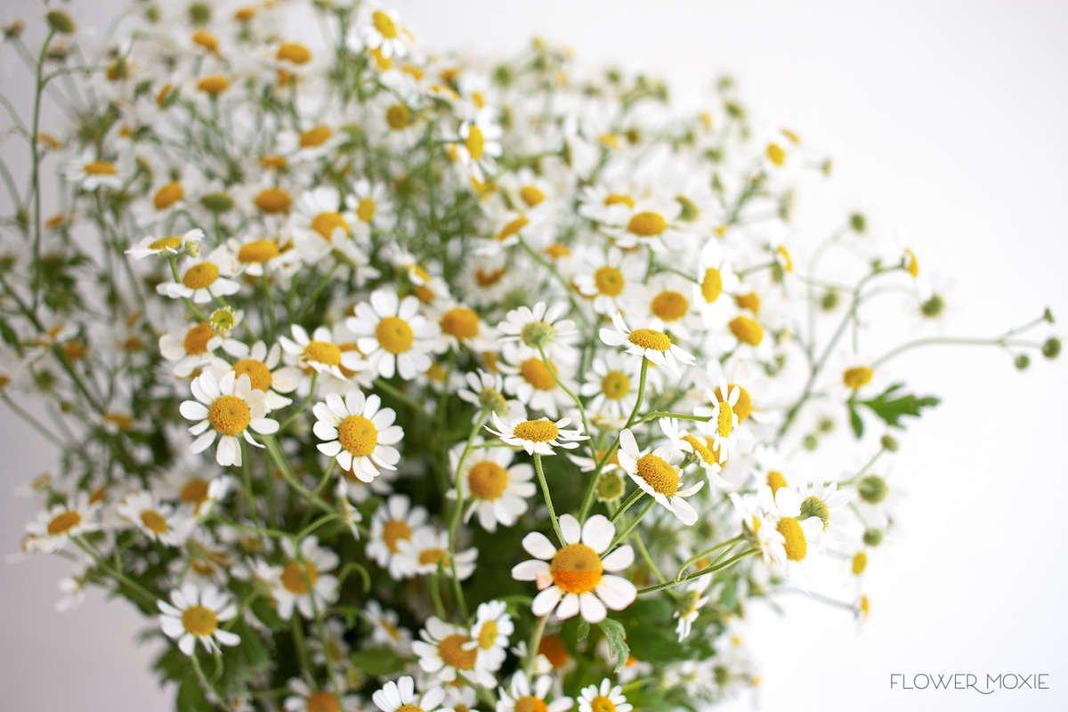 feverfew, tiny daisy, diy wedding flowers, flower moxie, flowermoxie, chamomile