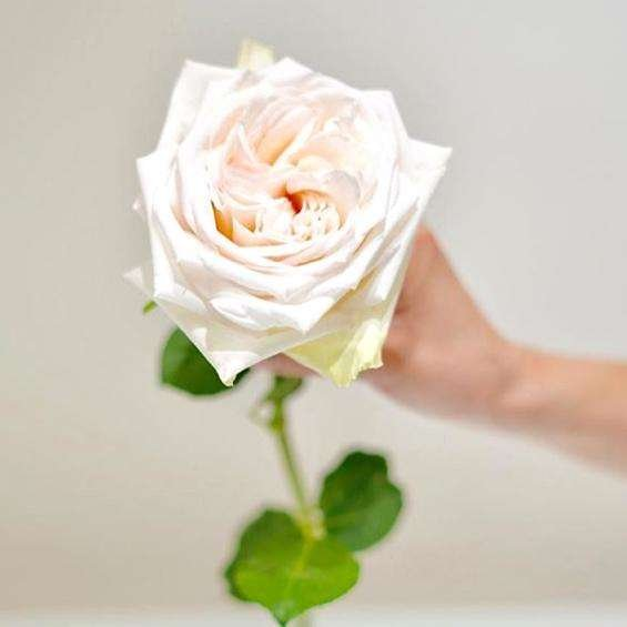 O'Hara garden rose | flower moxie | ohara garden rose | ohara rose | white rose | cream rose | ivory rose | DIY bride | DIY flower ideas | DIY wedding ideas | DIY bouquet ideas | DIY bridesmaid | DIY bridal bouquet ideas | flower moxie | wedding ideas | bridesmaid ideas | how to save money wedding