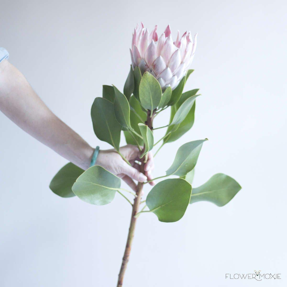 King Protea — Flower Moxie