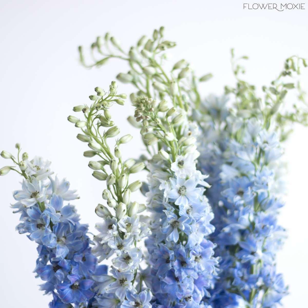 Delphinium Light Blue Flower Moxie