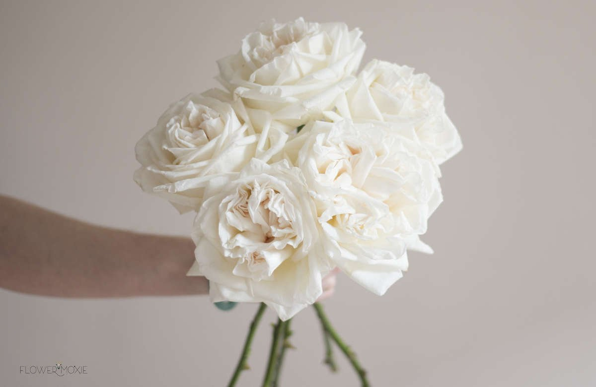 white ohara garden rose - White Patience Garden Rose