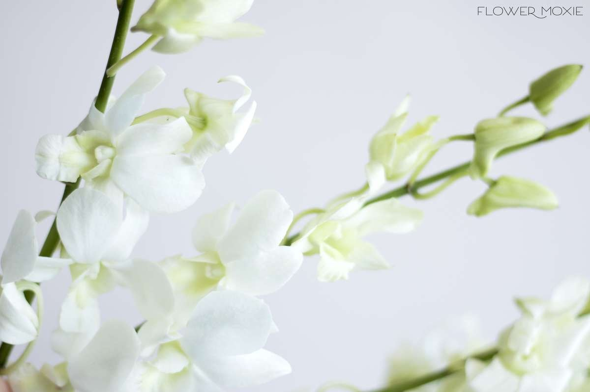 Dendrobium Orchids White Flower Moxie