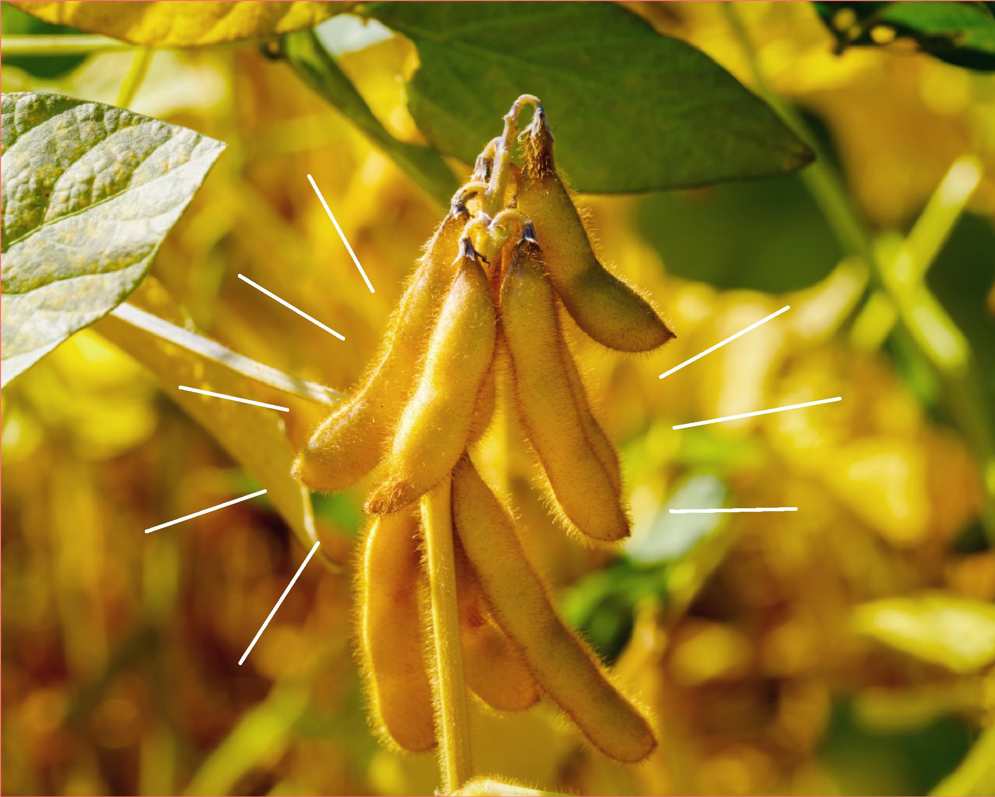 Origin of tempayy (tempeh) using soybeans