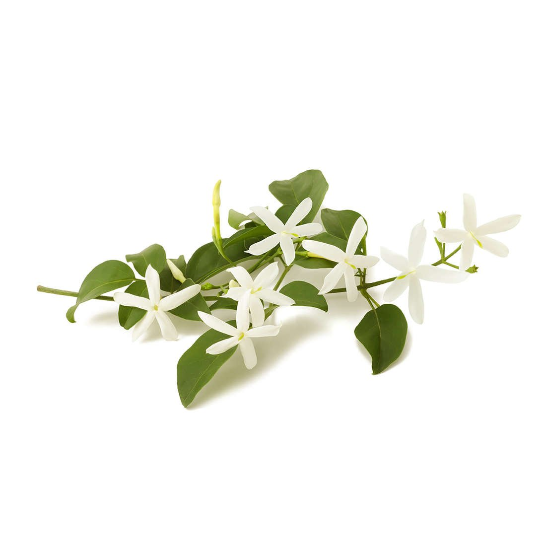 Jasmine essential oil is calming