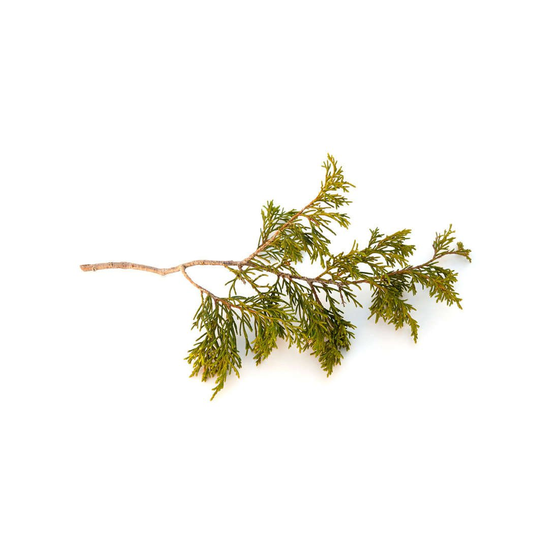 Himalayan Cedarwood essential oil is grounding