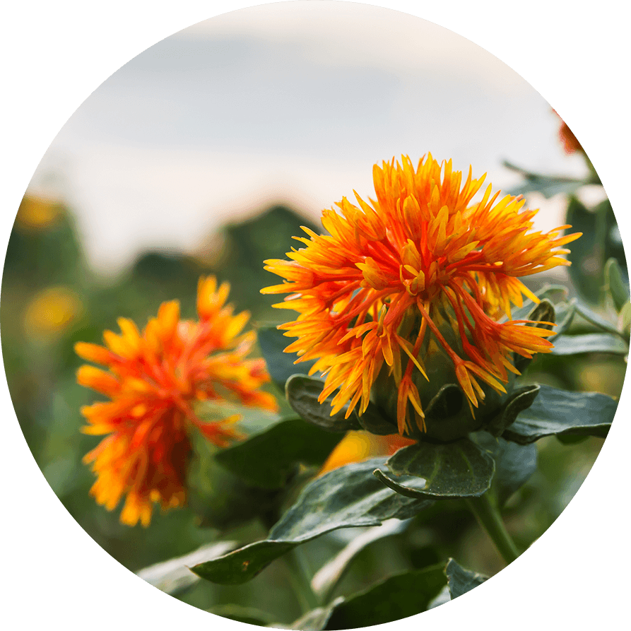 hi0oleic cosmetic grade safflower oil
