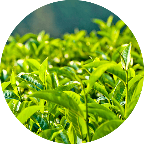 Tea Tree ingredient in source vital products