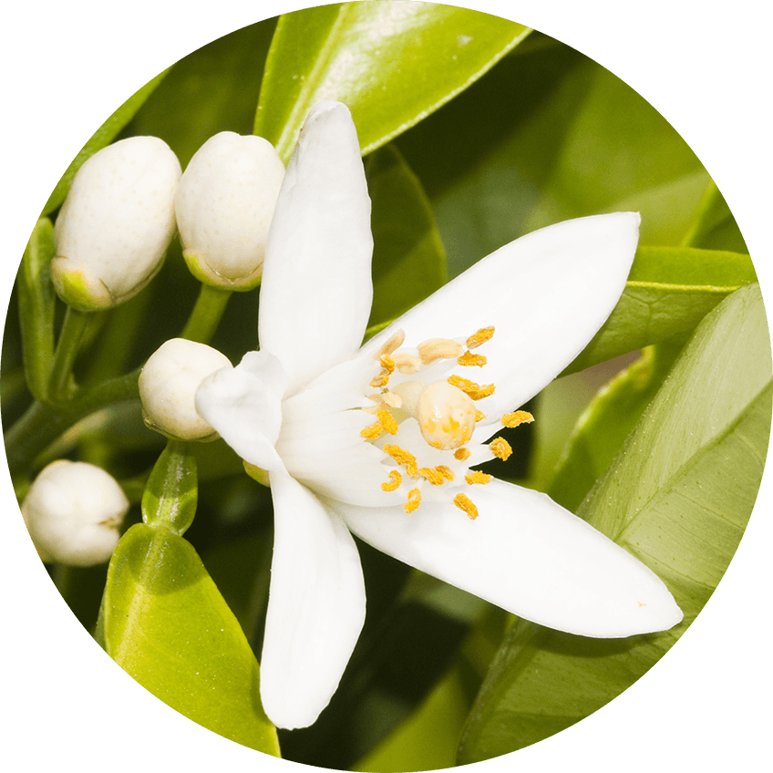 100% pure neroli absolute oil sourced from italy