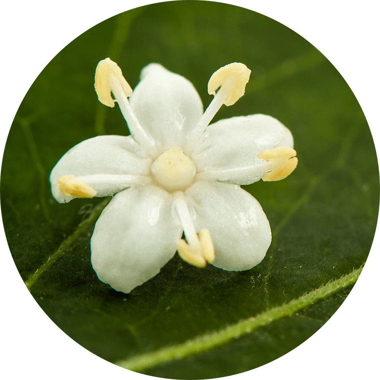natural elder flower extract good for acne, inflammed skin and protects from free radicals