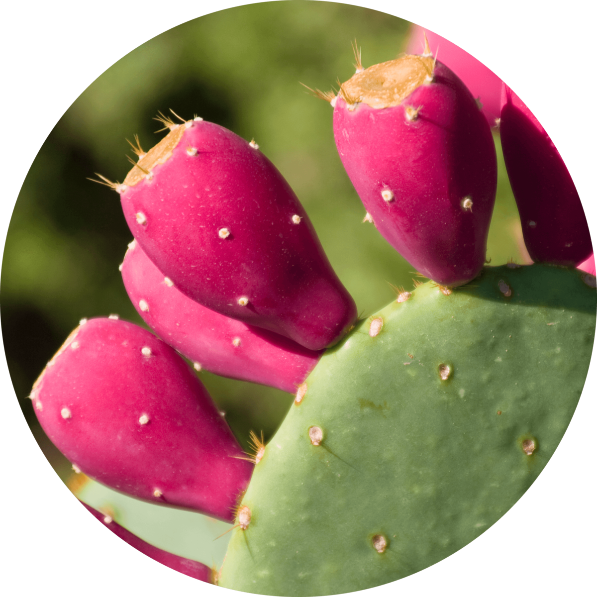 organic prickly pear oil used for skin care