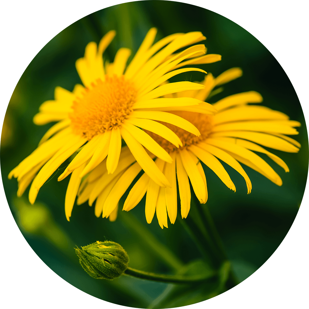 natural, arnica flower extract ingredient in Source Vital products