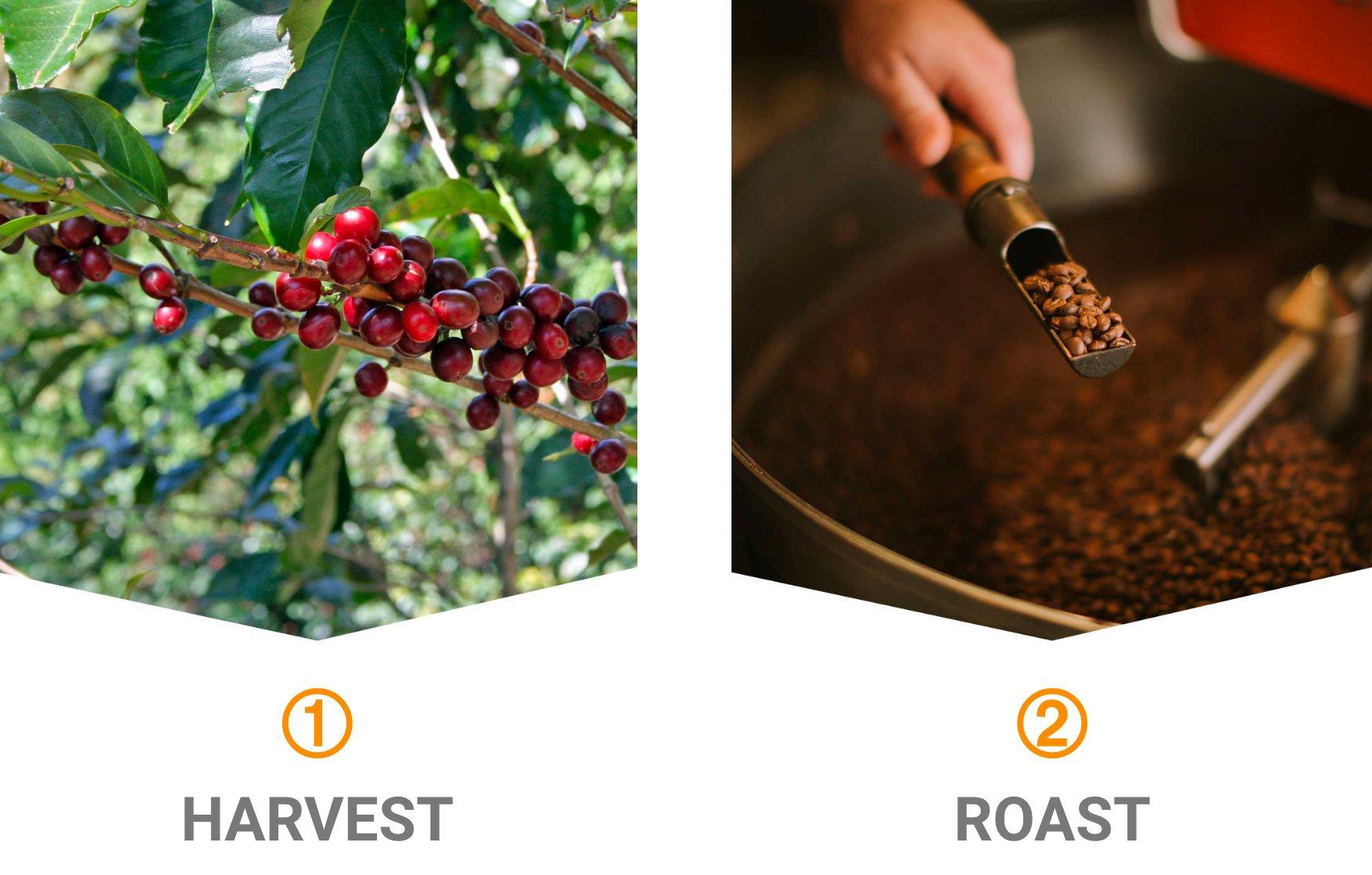 1-HARVEST 2-ROAST COFFEE CHERRIES AND ROASTED COFFEE