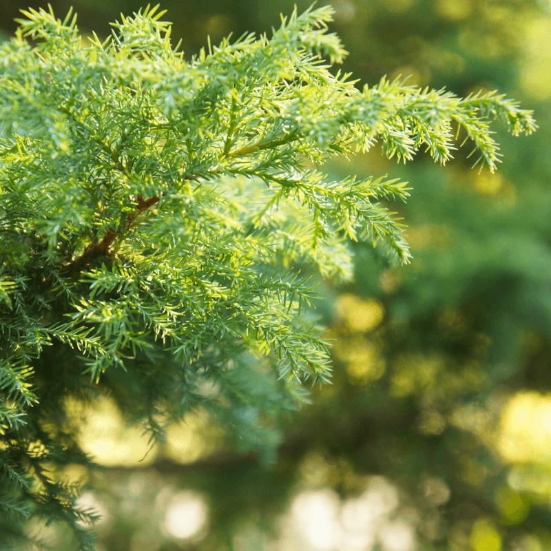 Colophonium Rosins