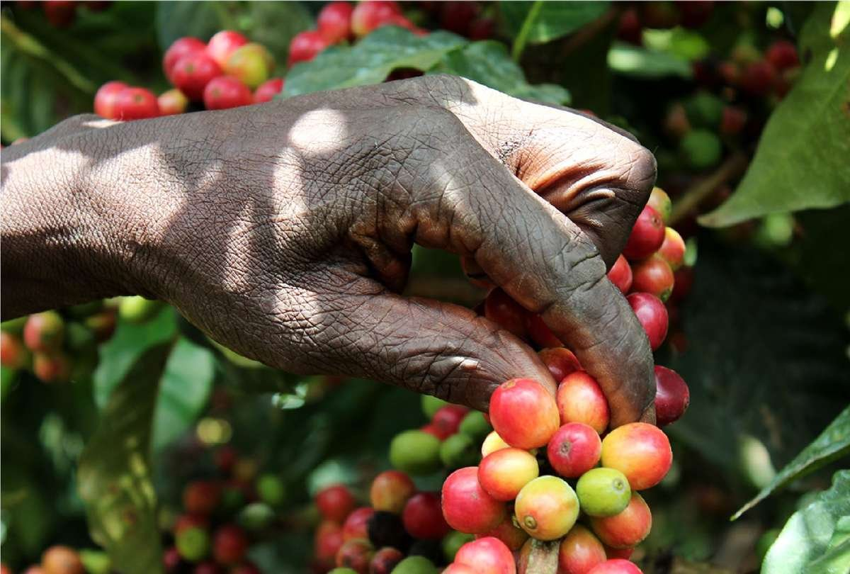 Picture of a hand picking coffee cherries | Kaldi's Coffee Charitable Donations