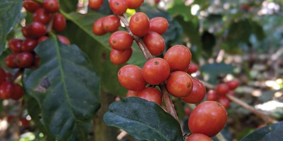Ripe red Coffee Cherries growing in El Salvador