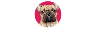 bulldog on pink background