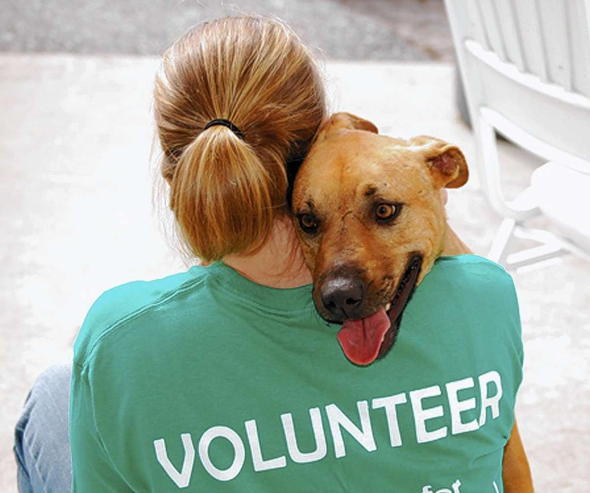 an introduction to volunteering at an animal hospital Animal shelter volunteers work in facilities hosting animals and help visitors find adoptable pets other responsibilities listed on an animal shelter volunteer resumes include providing food and water to animals, cleaning living areas, taking animals out for walks, brushing and grooming animal coats, and transporting animals.