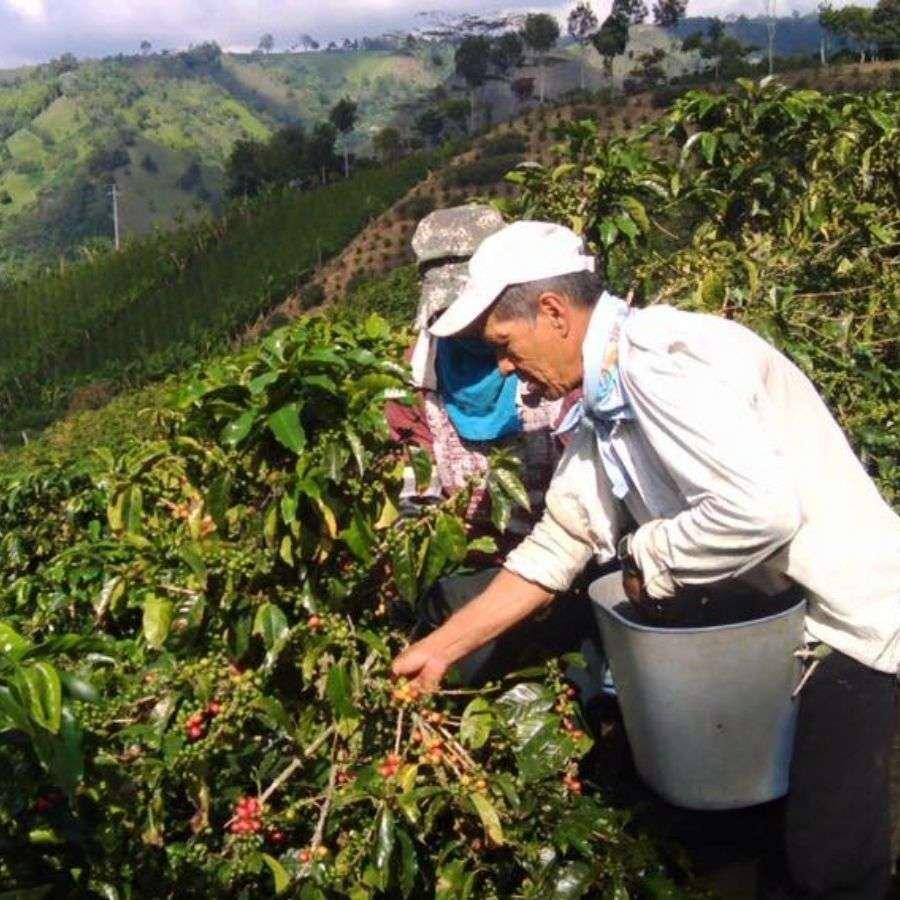 Frische Kaffeekirschen, die direkt in Kolumbien geröstet werden.