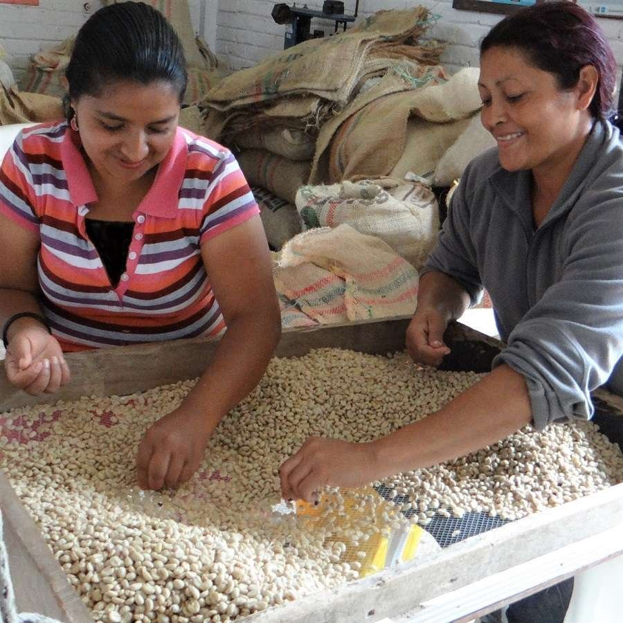 Grüne Kaffeebohnen in Kolumbien, auf der Finca El Ocaso geerntet.