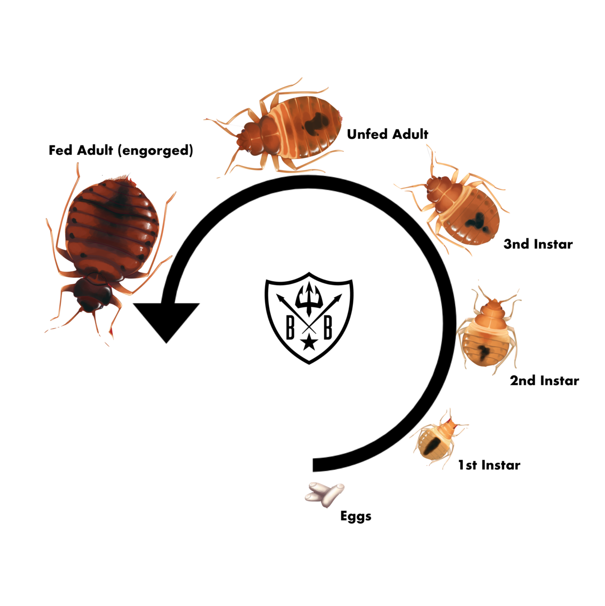 Bed Bug Life Cycle. Bed Bug Wholesale