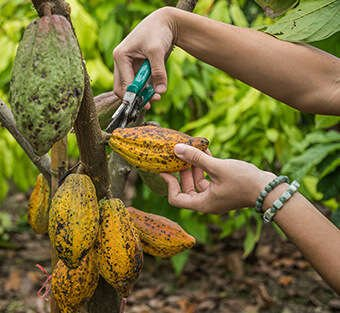 Raw Cacao sourced from Peru