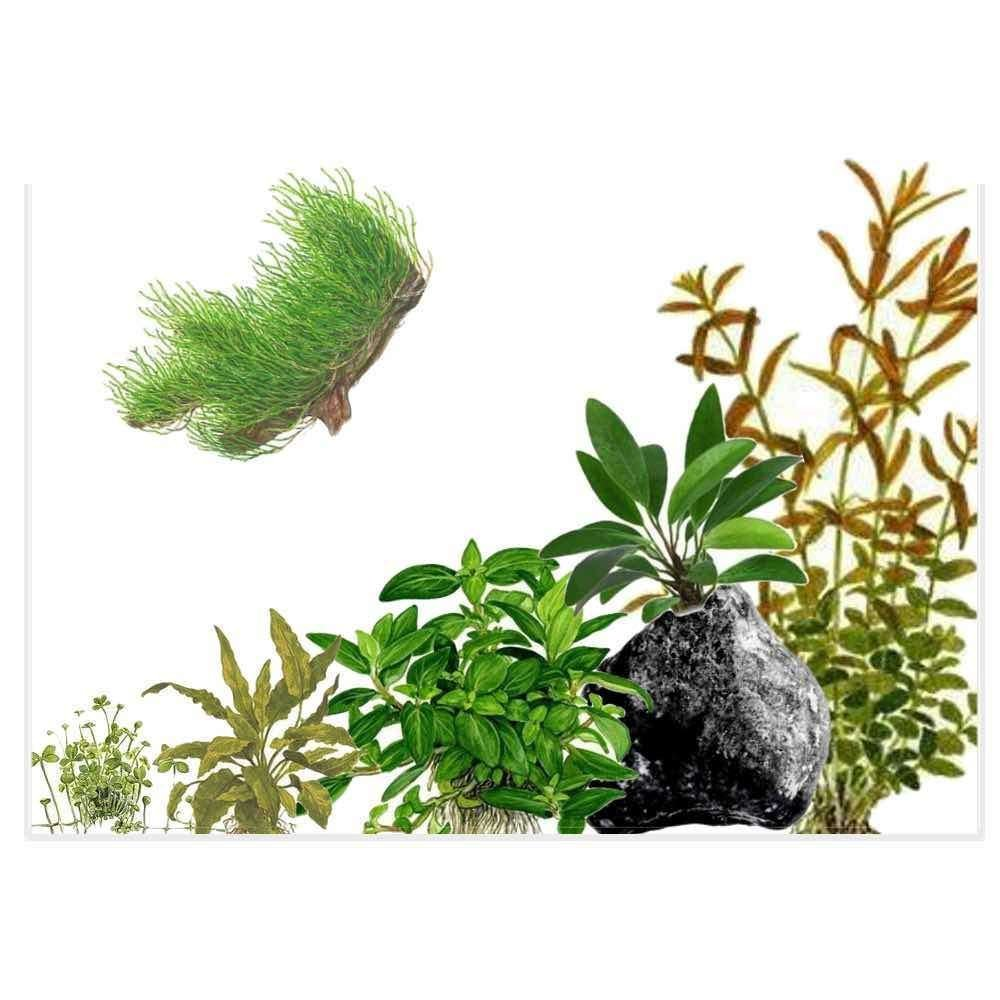 aquatic-plant-in-vitro-plant-starter-kit-for-low-tech-planted-aquariums-ala