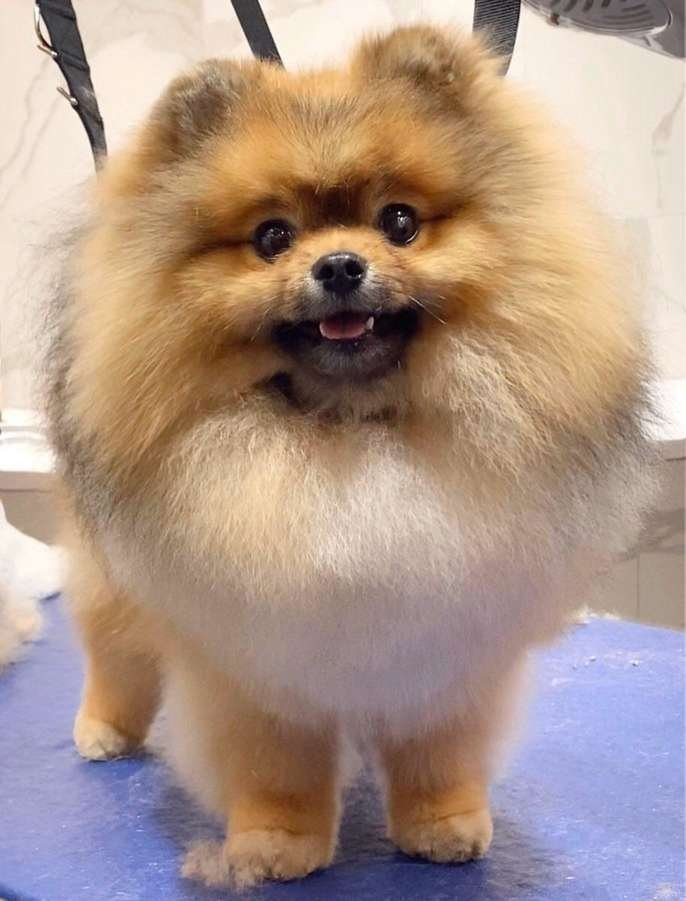 dog grooming and care, dog bath, dog haircut, pet grooming professional , Spitz