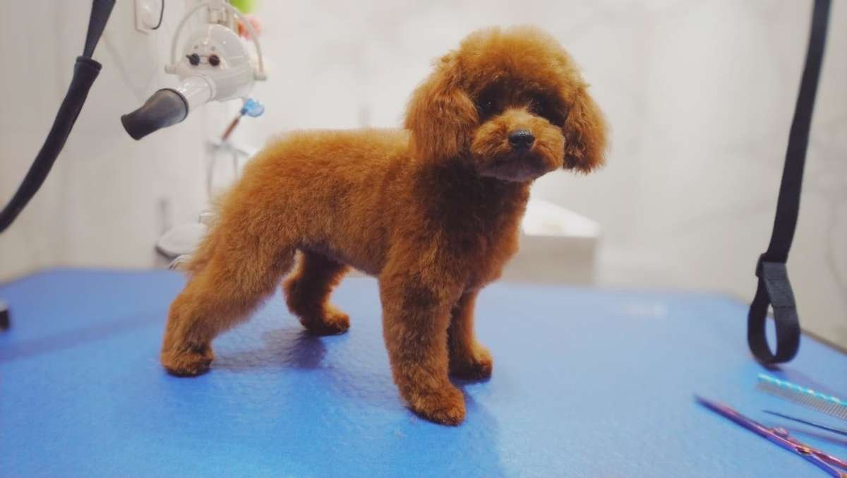 dog grooming and care, dog bath, dog haircut, pet grooming, poodle, toilettage Paris 6ème