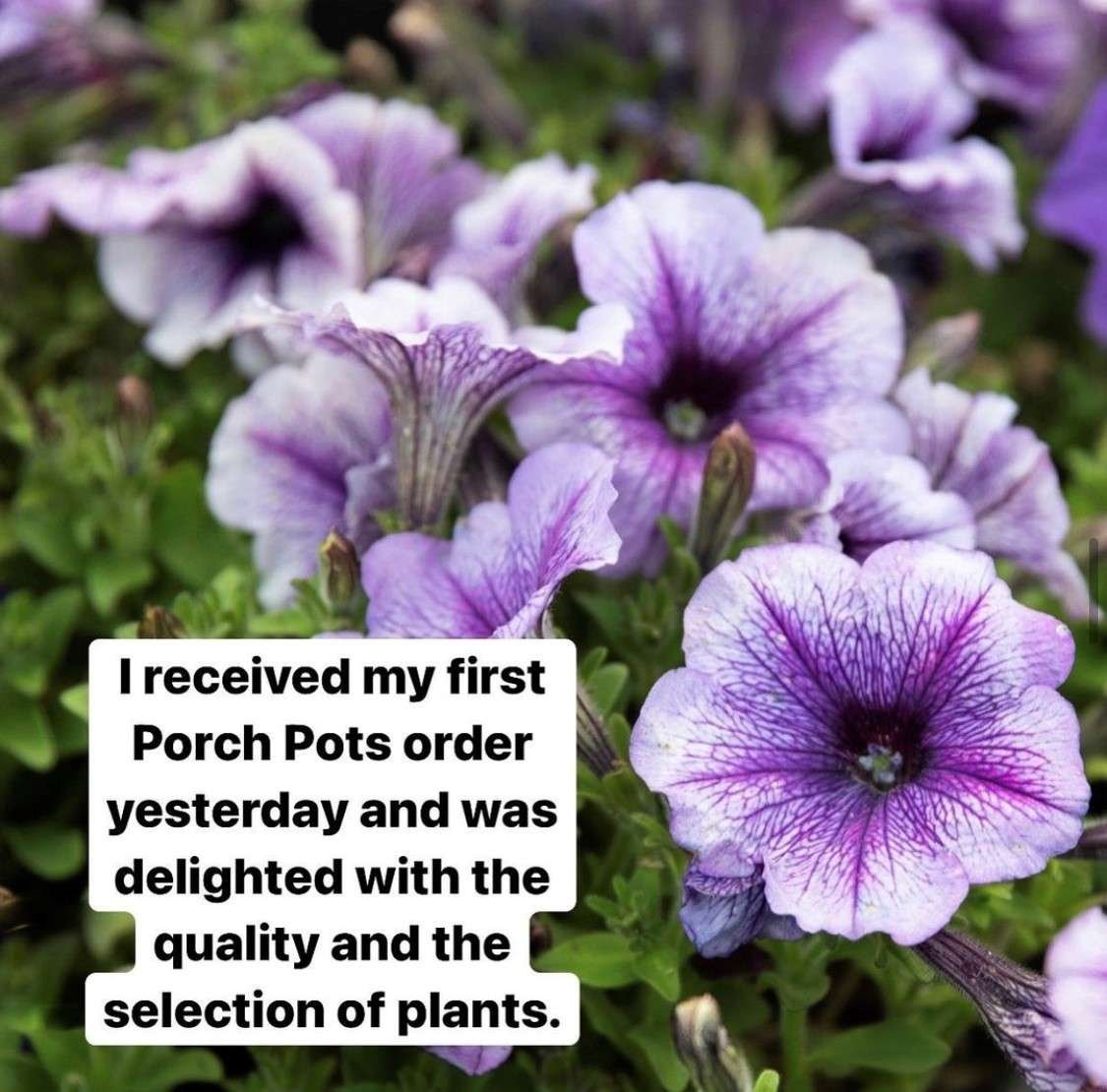 Purple petunias with customer testimonial.