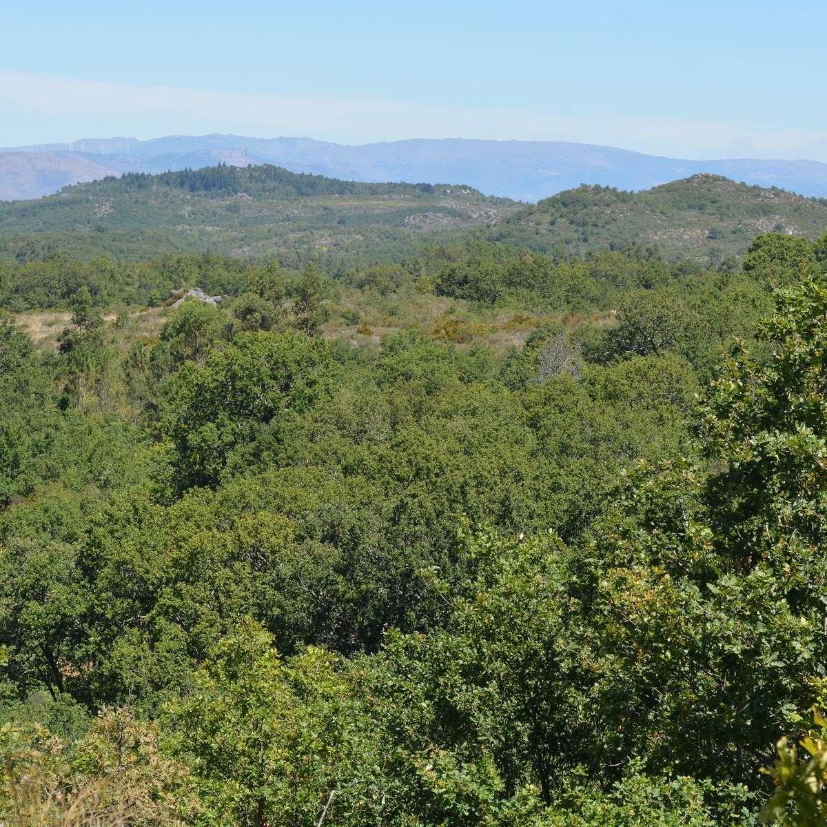 A 15 year old native oak woodland