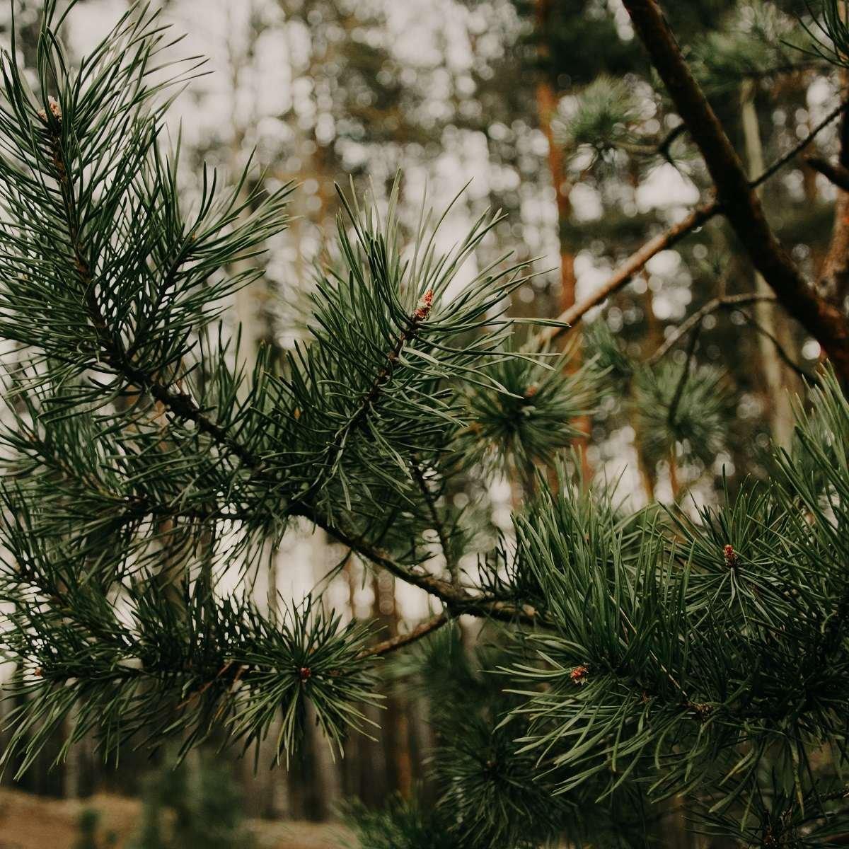 Sitka Spruce Plantation Ireland